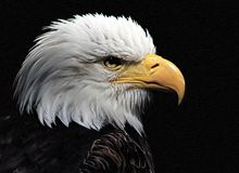 White-headed eagle. Heraldic bird of the United States of America royalty free stock photo