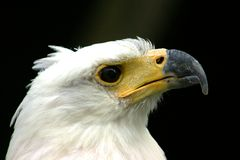 White-headed eagle portrait. Portrait of a white-headed eagle with a dark background Stock Photography
