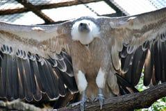 White-headed gier die zijn grote bruine vleugels uitspreiden royalty-vrije stock afbeelding