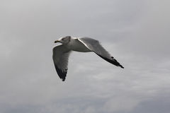 White-headed Gull Flying Soaring through the Sky. White-headed gull flying, soaring through the sky royalty free stock image