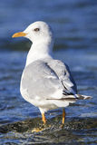 White headed gull standing in river. In Alaska royalty free stock photo