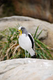 White headed lapwing Royalty Free Stock Images