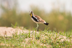 White-headed Lapwing Royalty Free Stock Photography
