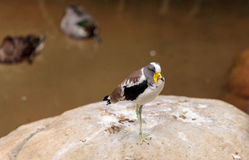 White-headed lapwing called Vanellus albiceps. Perches on a rock. This bird has yellow flaps along the side of its face that extend from a shark beak stock photography