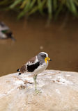 White-headed lapwing called Vanellus albiceps. Perches on a rock. This bird has yellow flaps along the side of its face that extend from a shark beak royalty free stock photo