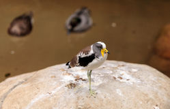 White-headed lapwing called Vanellus albiceps. Perches on a rock. This bird has yellow flaps along the side of its face that extend from a shark beak stock image
