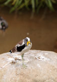 White-headed lapwing called Vanellus albiceps. Perches on a rock. This bird has yellow flaps along the side of its face that extend from a shark beak royalty free stock photos