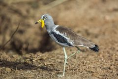 White headed Lapwing in Kruger National park, South Africa. White headed Lapwing full frame in Kruger National park, South Africa ; Specie Vanellus albiceps stock images