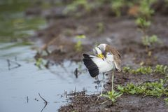 White headed Lapwing in Kruger National park, South Africa. White headed Lapwing grooming in Kruger National park, South Africa ; Specie Vanellus albiceps family stock photos
