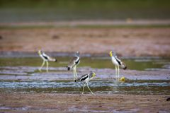White headed Lapwing in Kruger National park, South Africa. Group of White headed Lapwing wading in Kruger National park, South Africa ; Specie Vanellus albiceps royalty free stock images