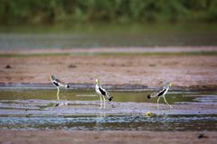 White headed Lapwing in Kruger National park, South Africa. Specie Vanellus albiceps family of Charadriidae stock image