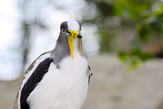 White Headed Lapwing Stock Photo