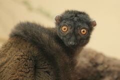 White-headed lemur royalty free stock image