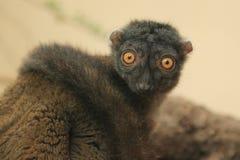 White-headed lemur Royalty Free Stock Image