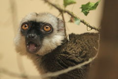 White-headed lemur Stock Image