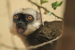 White-headed lemur Stock Image