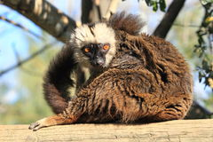 White-headed lemur stock photos