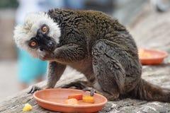 White-headed lemur. During eating Stock Images