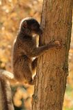 Fauna of Madagascar - a female of white-headed lemur Eulemur albifrons on a tree. The white-headed lemur Eulemur albifrons, also known as the white-headed brown stock photos