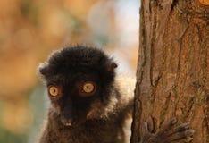 Portrait of a white-headed lemur Eulemur albifrons - a female. The white-headed lemur Eulemur albifrons, also known as the white-headed brown lemur, white royalty free stock photos