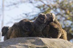 Group of white-headed lemurs in sunset. The white-headed lemur Eulemur albifrons, also known as the white-headed brown lemur, white-fronted brown lemur, or white Royalty Free Stock Photography