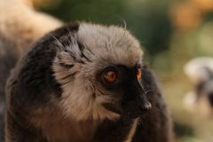 Portrait of a white-headed lemur Eulemur albifrons - a male. The white-headed lemur Eulemur albifrons, also known as the white-headed brown lemur, white-fronted royalty free stock photography