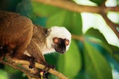 White-headed lemur Eulemur albifrons, Madagascar. Male of white-headed lemur Eulemur albifrons on branch in Madagascar wilderness. Nosy Mangabe forest reserve royalty free stock photos