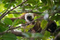 White-headed lemur Eulemur albifrons on tree. Endemic white-headed lemur Eulemur albifrons on branch in Madagascar wilderness. Masoala forest reserve. Madagascar Royalty Free Stock Images