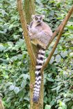 White-headed lemur. With long tail sitting on the tree royalty free stock photography