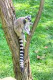White-headed lemur. With long tail sitting on the tree stock photography