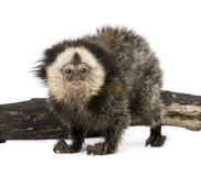 White-headed Marmoset against white background. Young White-headed Marmoset, Callithrix geoffroyi, 5 months old, in front of white background, studio shot royalty free stock photos