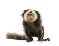 White-headed Marmoset against white background Stock Image