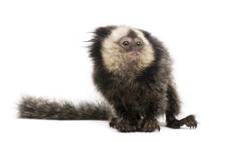 White-headed Marmoset against white background Royalty Free Stock Images