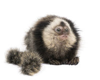 White-headed Marmoset against white background Stock Images