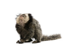 White-headed Marmoset against white background. Young White-headed Marmoset, Callithrix geoffroyi, 5 months old, in front of white background, studio shot stock photo