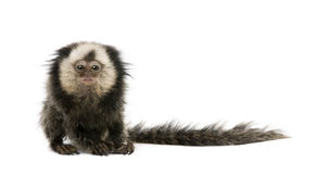 White-headed Marmoset against white background Stock Photo