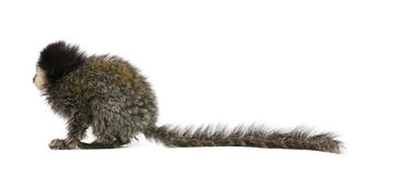 White-headed Marmoset against white background. Side view of young White-headed Marmoset, Callithrix geoffroyi, 5 months old, in front of white background stock photos