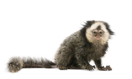 White-headed Marmoset against white background Royalty Free Stock Image