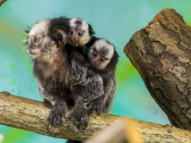 White-headed marmoset baby Royalty Free Stock Image