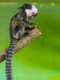 White-headed marmoset baby Royalty Free Stock Photos