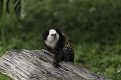 White-headed marmoset. (Callithrix geoffroyi), also known as the tufted-ear marmoset, Geoffroy's marmoset, or Geoffrey's marmoset stock photo