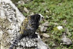 white-headed marmoset royalty free stock photography
