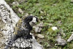 white-headed marmoset royalty free stock photo