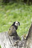 White-headed marmoset. (Callithrix geoffroyi), also known as the tufted-ear marmoset, Geoffroy's marmoset, or Geoffrey's marmoset royalty free stock image