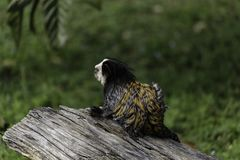 white-headed marmoset royalty free stock photos