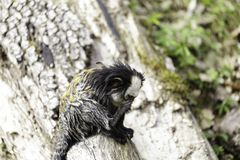 white-headed marmoset stock image