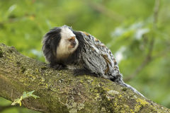 White-headed marmoset (Callithrix geoffroyi) closeup stock photo