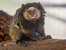 White-headed marmoset, Callithrix geoffroyi, lives in the South American rainforest. One White-headed marmoset, Callithrix geoffroyi, lives in the South American Stock Photo
