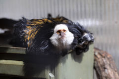 White-headed marmoset, Callithrix geoffroyi, watching nearby royalty free stock image