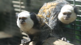 White-headed marmoset Stock Photos